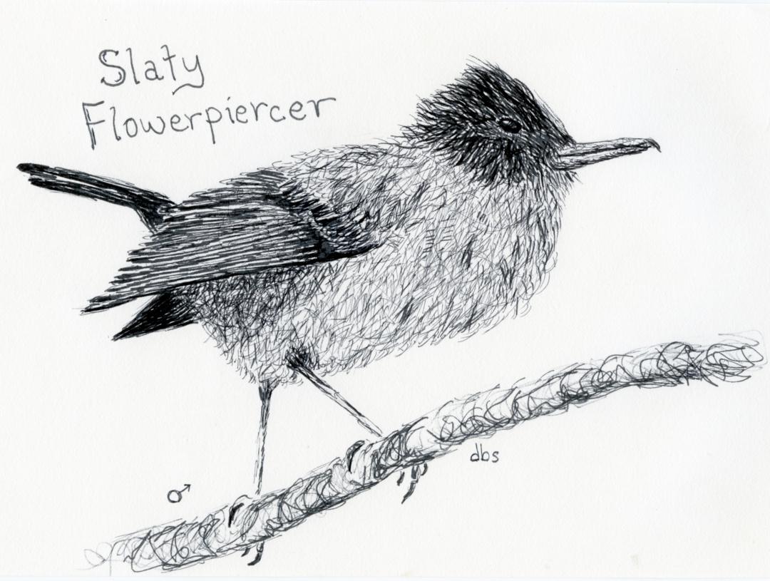 CR-Slaty Flycatcher001