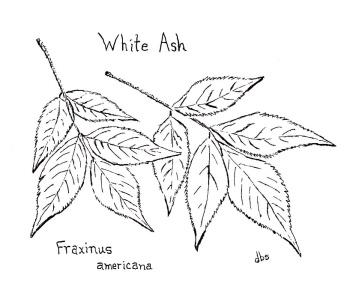 14-White Ash-reduced