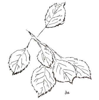 2-Apple Leaves - reduced